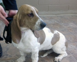 WYOMING ~ meet Mabel an 8mo old #adoptable #BassetHound puppy dog in Cody. Mabel came to WBHR after being  owner surrendered at a local shelter due to a new baby coming into the family & them not having time for Mabel. She's spayed & current on vaccinations. Mabel gets along well with other dogs, cats & children. She's very friendly & affectionate. To #adopt  contact  Holly at (307)272-8089 or email at mailto:bassetresc... ~~ Wyoming Basset Hound Rescue