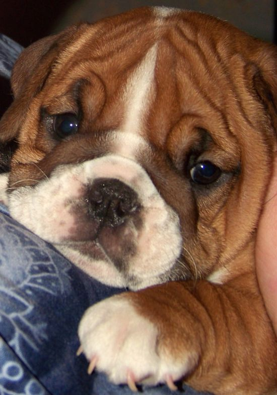 Bulldog puppy, do I ever have to grow up