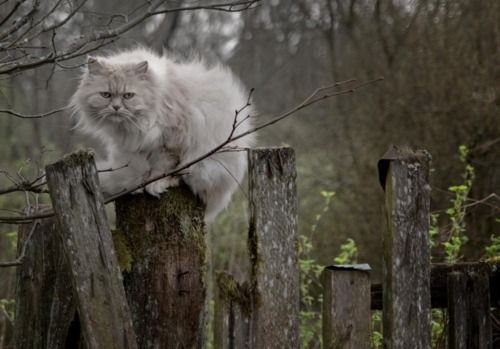 Serenely, captivatingly lovely. #cat #kitty #kitten #cute #pets #animals #grey #fence