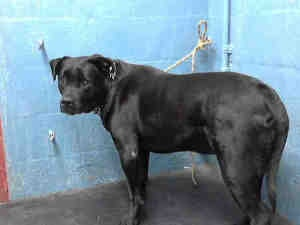 A4574605 is an adoptable Labrador Retriever Dog in Lancaster, CA.  ...