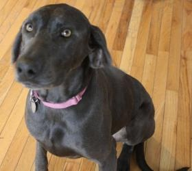 Lily is an adoptable Weimaraner Dog in Decorah, IA. Please fill out an adoption application at our website: www.iowaweimrescu.... ?We are not a shelter, but a rescue that operates out of foster home...