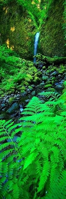 Fern Falls COLUMBIA RIVER GORGE NATIONAL SCENIC AREA, OREGON - JULY 2008: A lone waterfall among a forest of ferns high in the Columbia River Gorge.