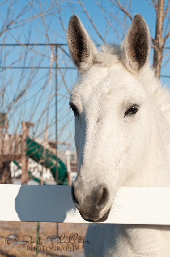 White Mule by Barb Phillips, via Flickr