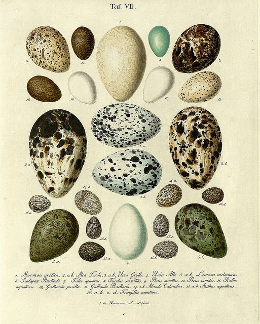 Die Eier der Vögel Deutschlands b, 1818 by peacay, via Flickr