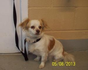 #TENNESSEE ~ Hot Dog ID 194 is a young female #adoptable Chihuahua Dog in #Lewisburg - an Owner Release on 5/8/13 #Adoption date is 5/8/13 and available for rescue on 5/9/13.  ::: Expected Euthanize date is 5/29/13 ::: LEWISBURG ANIMAL SHELTER  300 Woodside Ave  #Lewisburg TN  mailto:animal_con...  Ph 931.359.5948