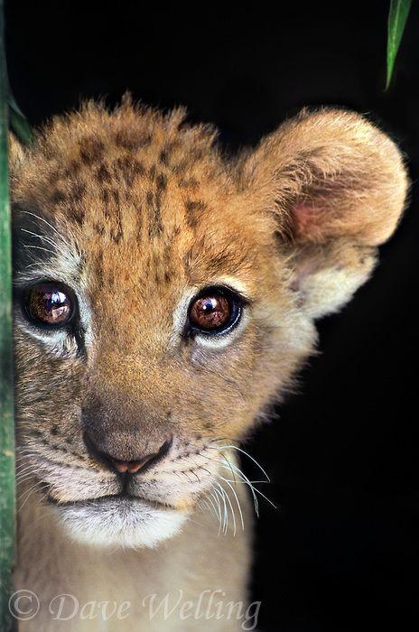 Lion cub with big beautiful eyes