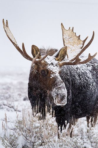 Bull Moose - Grand Teton National Park, Wyoming
