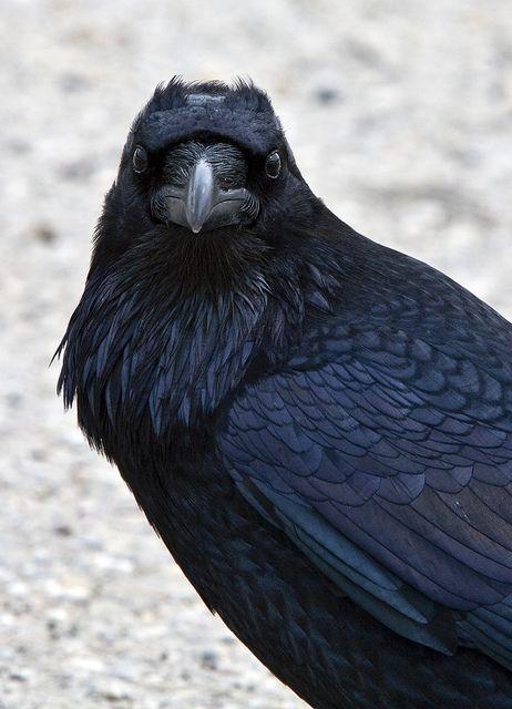 Raven. #bird