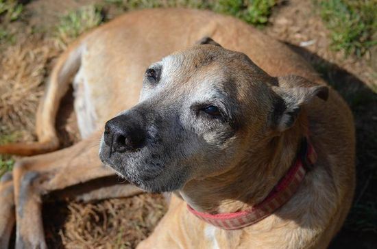 Nellie is an 8-10 year old hound mix. She is good with kids, cats, and most dogs. She's been in foster for the last 6 months and has behaved beautifully.She is an active dog who loves walks, loves to snuggle, and is just very friendly in general....