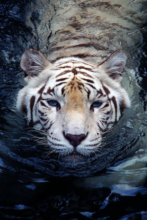 swimming white tiger