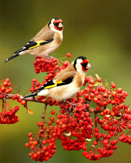 birds with red berries