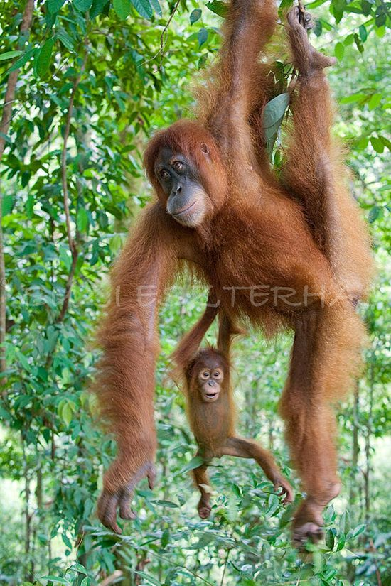 Orangutan mother and playful baby