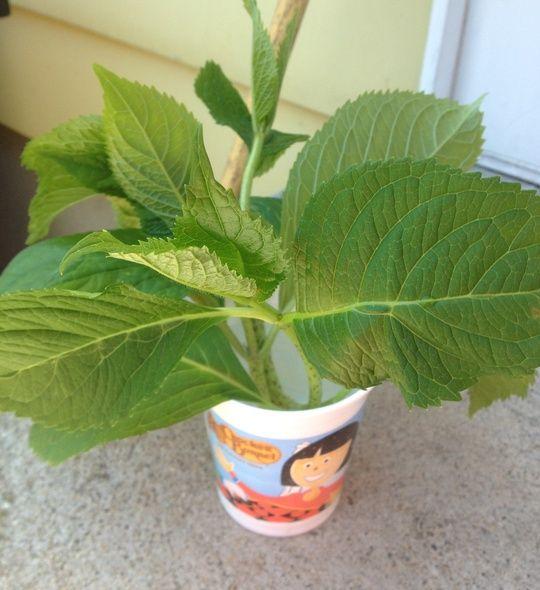 Free hydrangeas! How to grow hydrangeas from pieces you cut off.