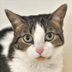 Precious is an adoptable Domestic Short Hair Cat in Santa Rosa, CA. MYM Private Investigator Precious: Precious is one sensitive feline who needs to be the only cat and doesn't much care for dogs eith...