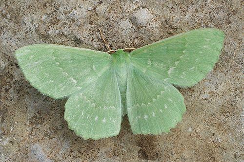 ~ moth