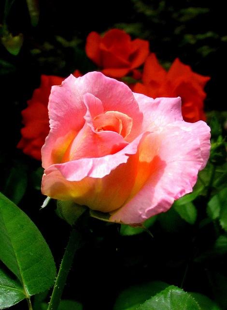 Pink tip rose