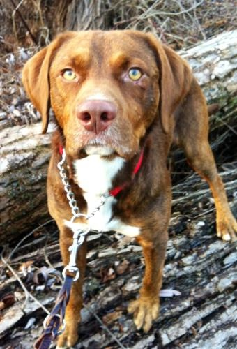 Reign *urgent foster or permanent home needed* is an adoptable Chocolate Labrador Retriever, Lakeland Terrier Dog in Brunswick, ME Reign is a handsome 1 year old little dog who has been through quite a bit in his short life. H ... ...Read more about me on @petfinder.com