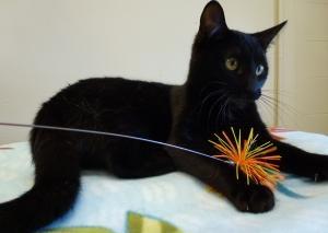 Jazzy is an adoptable Domestic Short Hair-Black Cat in Woodbridge, NJ.  ...