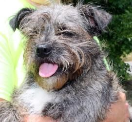 Smokey 17401 is an adoptable Terrier Dog in Prattville, AL.   Smokey is a 1-year-old male Terrier mix who may have a bit of  Affenpinscher in him.  His wiry coat is salt and pepper colored and he has ...
