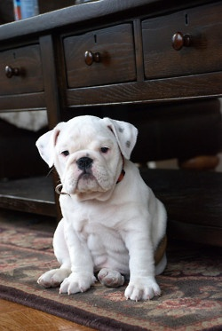 Love English Bulldogs