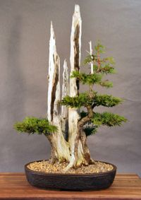 Eastern White Cedar Bonsai Tree, scientific name Chamaecyparis thyoides 'Andelyensis', is a pyramidal shaped evergreen that hardy and needs to be grown outdoors.
