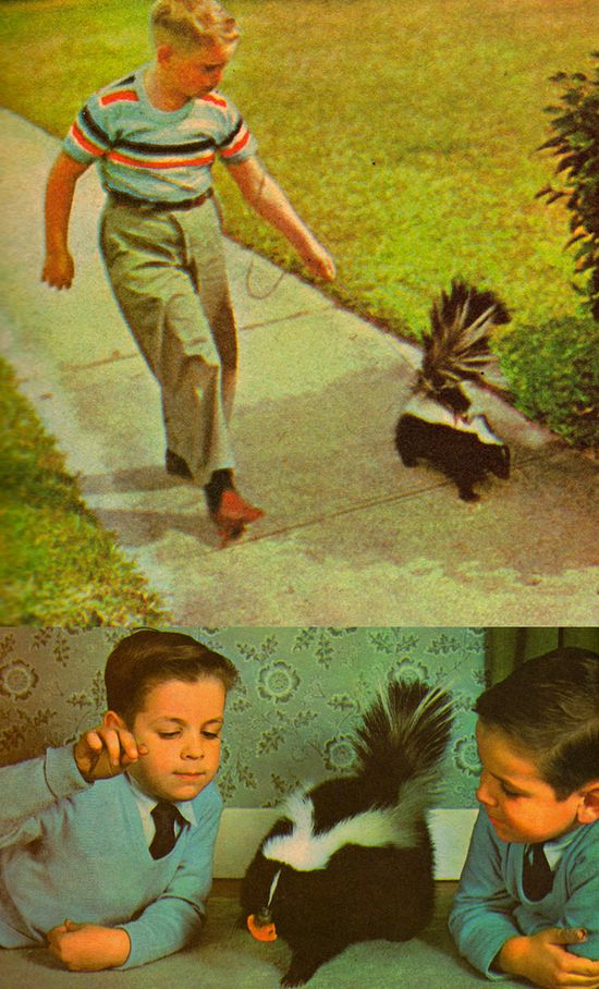 "Adorable pet skunk from a 1965 Golden Hobby Book - ""Wild Animal Pets"" - with text and photographs by Roy Pinney.  www.etsy.com/listi..."