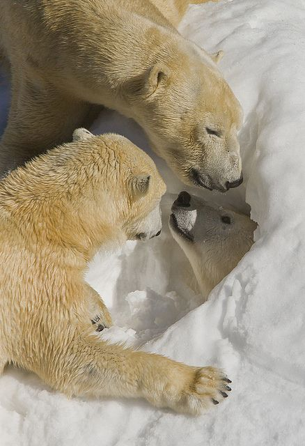 Polar bears in Snowden