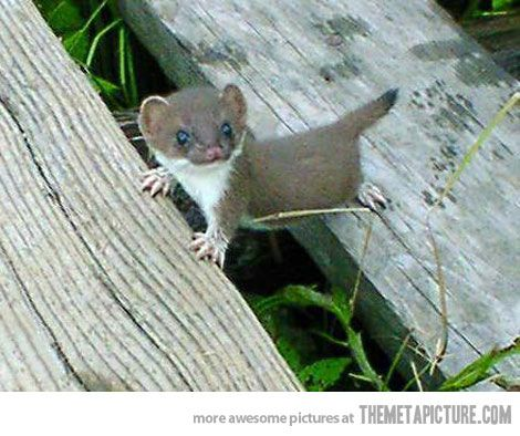 Tiny baby stoat
