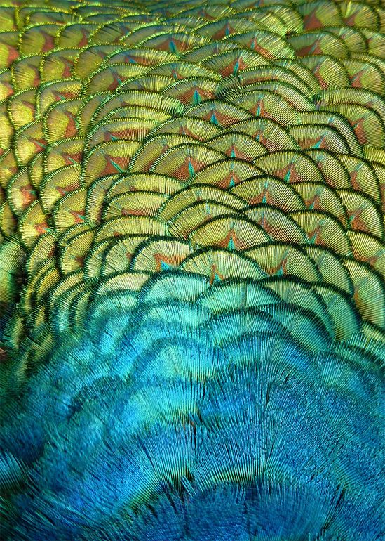 Peacock back feathers