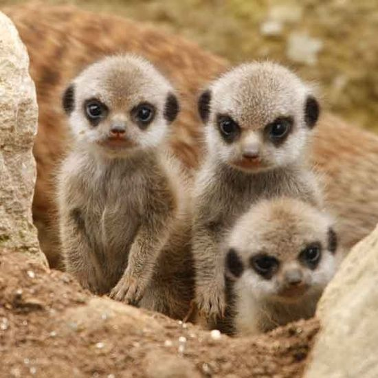 Whoa - don't mess with THIS little posse.  #babymeercats