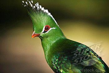 Turaco exotic bird San Diego, Wild Animal Park, Escondido, California, USA