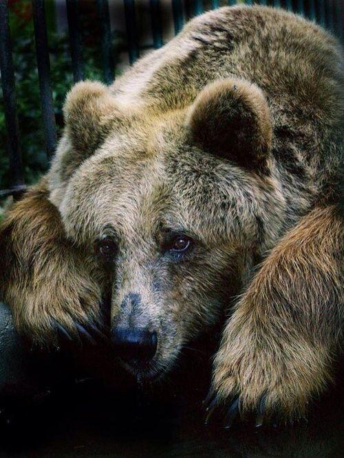 bear. Repinned by Elizabeth VanBuskirk on Inca Teaching 2: the Land, the Animals etc.