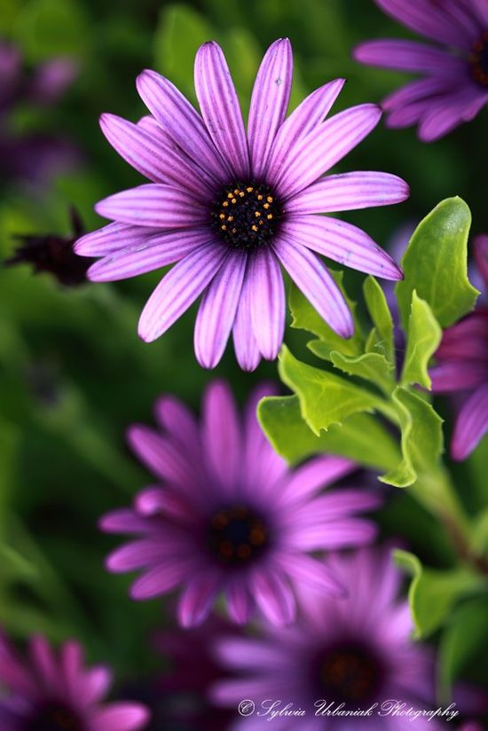 lovely purple cape daisies