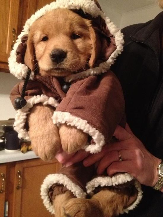 golden retriever bundled up for the cold