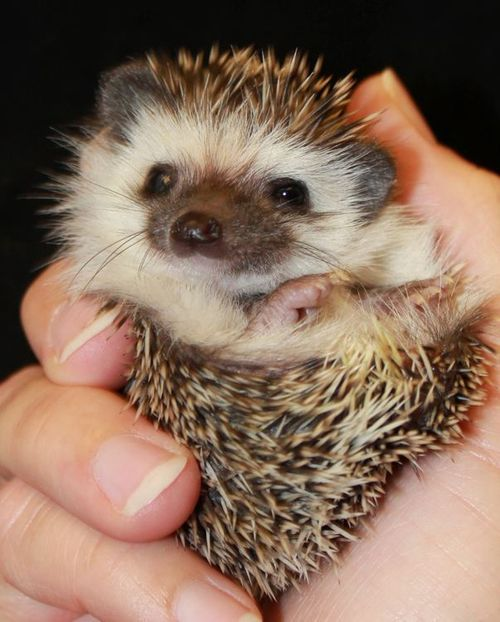 Baby Hedgehog also referred as hoglet is very delicate  normally the mothers lick their babies' bellies to stimulate digestion. #animals,#cute animals #wild animals