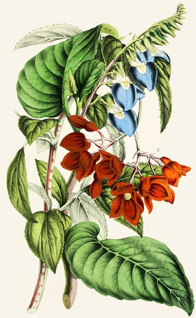 Klugia notoniana and begonia miniata, 1854. #Victorian #vintage #botanical #illustrations