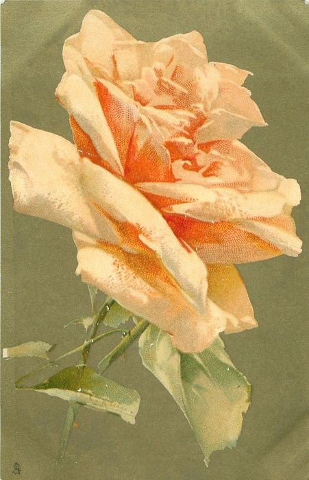 Single peach colored rose by C. Klein, 1906.