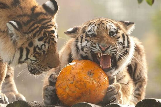 halloween tigers, at howletts wild animal park