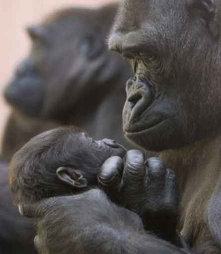 Gorilla and her Baby...You can't say other animals of any species don't feel....