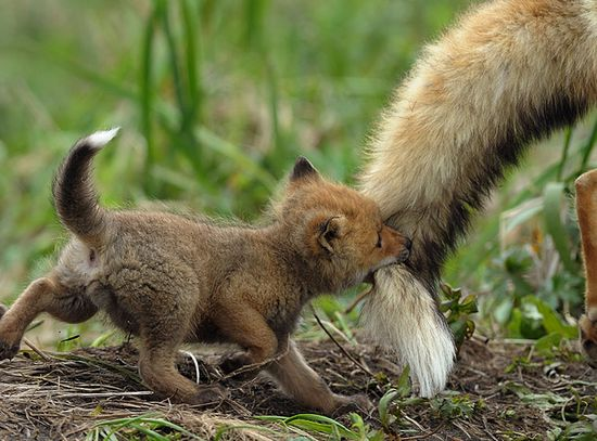 ? baby foxes!