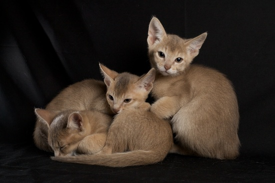 Abyssinian kittens. Adorable.