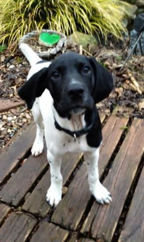 Kohl is an #adoptable German Shorthaired Pointer Dog in #Charleston, #WVIRGINIA  Kohl is a 3-month old black/white GSP puppy. He entered foster care with his brother and  ... ...Read more about me on @Petfinder.com.com.com