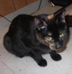 Pumpkin is an adoptable Domestic Short Hair Cat in Vallejo, CA. This is Pumpkin, and her name says it all! She has so much personality, and she is just as sweet as can be! She was fostered by one of o...