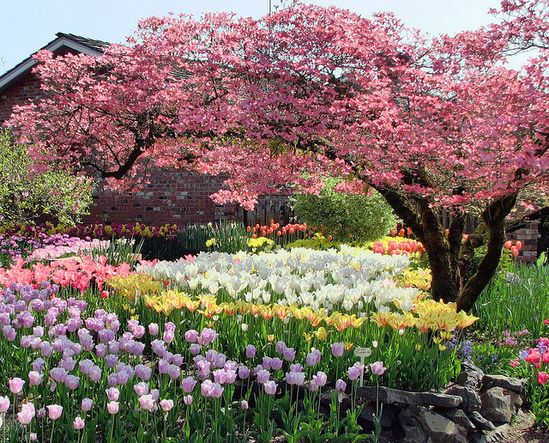.Love tulips and flowering trees