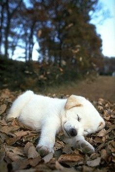 Precious yellow lab puppy fast asleep outdoors in the dried autumn leaves.