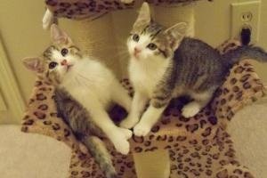 Adoptable Fridays: Meet Ted and Alice! Kittens Ted and Alice are both adoptable Domestic Short Hair in Shawnee, OK. Find out more about Ted and Alice! #pets #kittens #animals