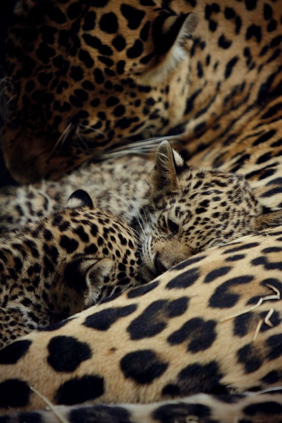 Baby leopards with their mother.