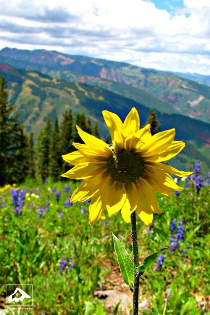 Sunflower on Aspen Mountain, Colorado