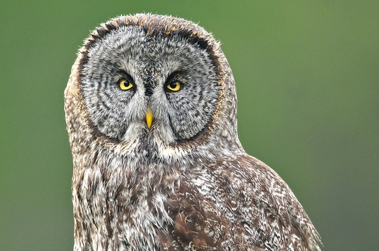{intimate portrait of an owl} such an intense look!