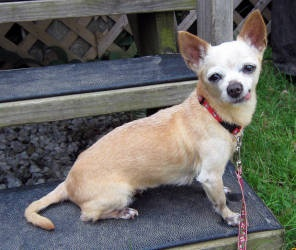 NEW JERSEY ~ meet Tia an #adoptable #Chihuahua #dog in Lambertville. TIA is a13 year-old and 4 pound female tan colored Chihuahua whose wold has been shaken from under her. This healthy senior lost her companion wh... #Adopt this cute dame thru Animal Alliance, Lambertville, NJ  609-818-1952